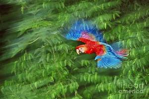 Scarlet Macaw Juvenile In Flight Photograph by Frans