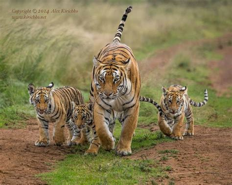 African Tigress Ussuri Walking With Her Three Cubs After