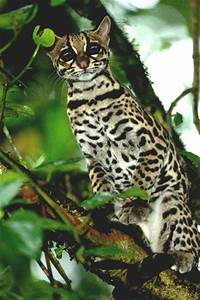 1000+ images about Smaller Wild Cats - Oncillas on ...