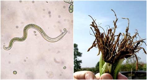 Nematodes: How These Tiny Worms Can Make (Or Break) Your ...