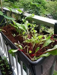 Gemüse Auf Dem Balkon : rote bete anbauen aussaat pflege und erntezeit plantura ~ Lizthompson.info Haus und Dekorationen