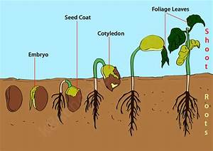 Bean Germination Diagram