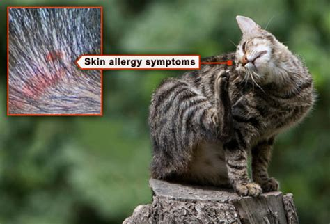 how to get cats to stop scratching fleas ticks pets and what to do in pictures