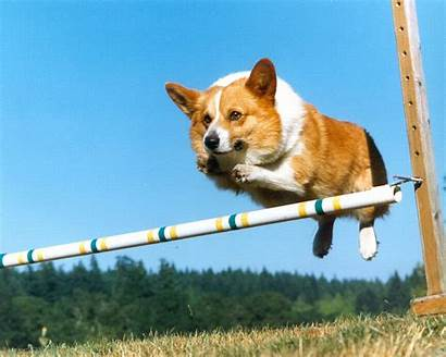 Corgi Dogs Dog Wallpapers Jumping Fours Flying