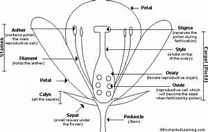 C1 W11 Science Parts Of Flower Labelled Diagram