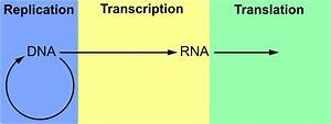 The Diagram Depicts Dna That Is Undergoing Replication