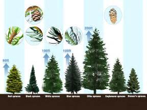how to identify spruce trees 6 steps with pictures