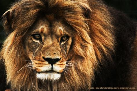 beautiful wallpapers lion wallpaper