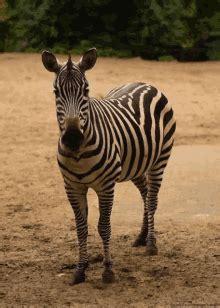 zebra gifs tenor