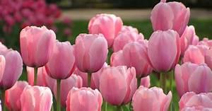Tulpenzwiebeln Im Topf Pflanzen : 10 tipps f r sch nere tulpen mein sch ner garten ~ Lizthompson.info Haus und Dekorationen