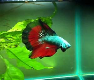 Betta Fish Colors - The fish doctor