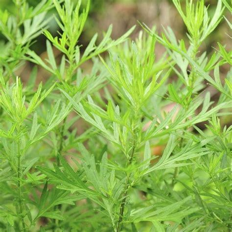 plante anti moustique exterieur plante anti moustiques liste ooreka