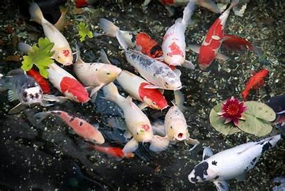Koi Pond Fish Desktop Wallpapers Wallpapersafari