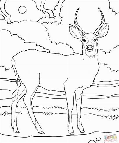 Coloring Deer Pages Tailed Printable Popular