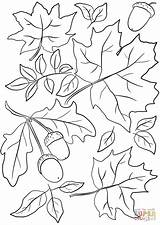 Coloring Leaves Autumn Pages Acorns Printable Drawing Paper sketch template