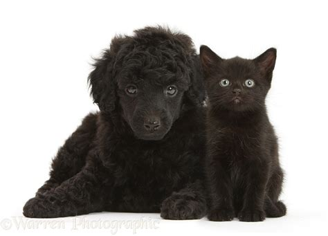 Pets Black Toy Poodle Pup And Black Kitten Both  Weeks Old P O Wp