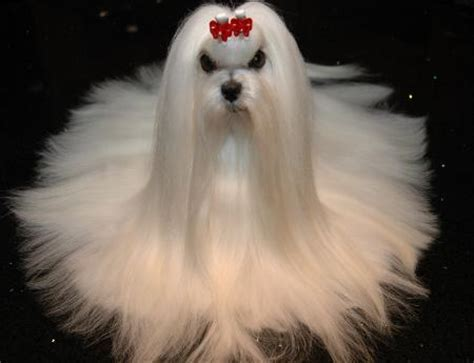 Maltese grooming,Maltese puppy breeders, breeding top