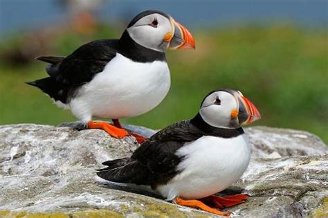 10 interesting puffin facts my interesting facts