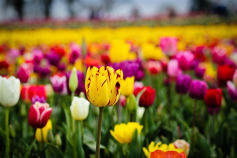 tulip field flowers hd desktop wallpapers  hd