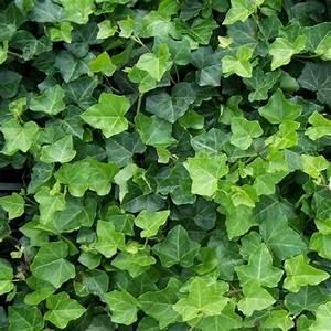 Immergrüne Pflanzen Sichtschutz : immergr ne hecke mit 100 sichtschutz online kaufen ~ Michelbontemps.com Haus und Dekorationen