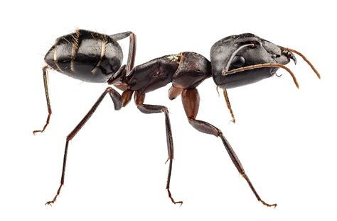small ants big ants vs small ants carpenter ants vs pavement ants knockout pest control