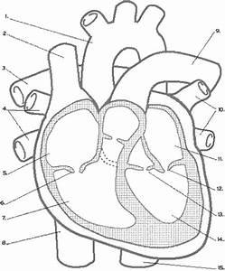 Progtedertio  Heart Diagram For Kids