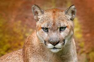 Cougar Attack  Mountain Lion Mauls Cyclist To Death Near