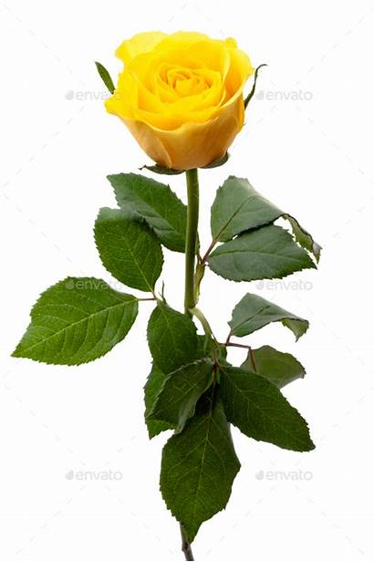 Yellow Rose Single