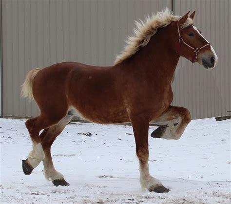 Belgian draft horses for sale at Alliant Energy Center ...