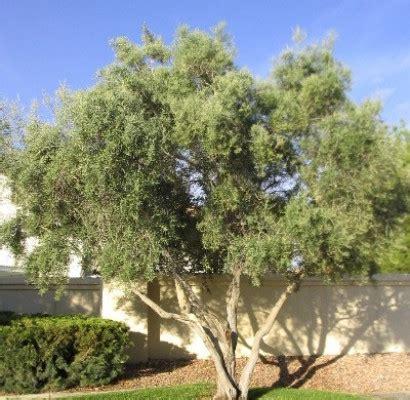 olive wilsonii fruitless olive horticulture unlimited