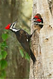 Birds Woodpeckers North America