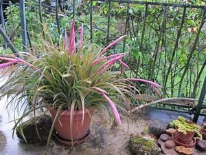 Plante D Extérieur En Pot : qui peut donner un nom cette plante d 39 ext rieur forum voyage plantes et arbres d 39 ornements ~ Teatrodelosmanantiales.com Idées de Décoration