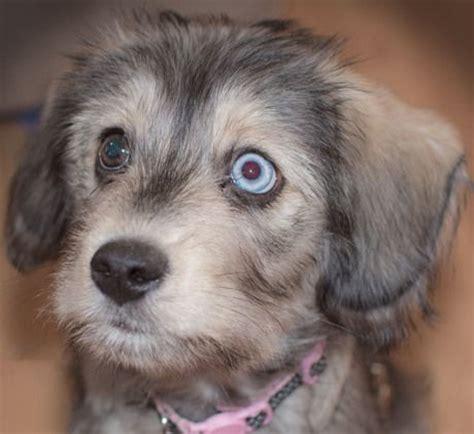 Ideas About Husky Poodle Mix On Pinterest Poodle Mix Puppies Poodle Mix And Dalmatian Mix