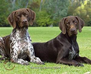 German Shorthaired Pointer Dogs 9 Background Wallpaper ...