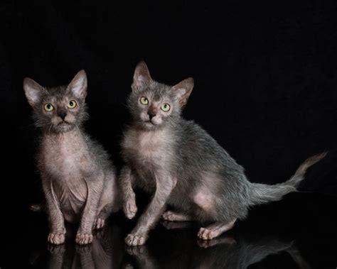 "Meet The Lykoi  The ""wolf"" Cat Iheartcatscom"