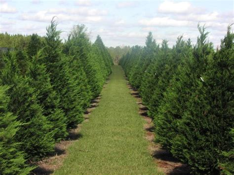 magical christmas tree farms  visit  tennessee