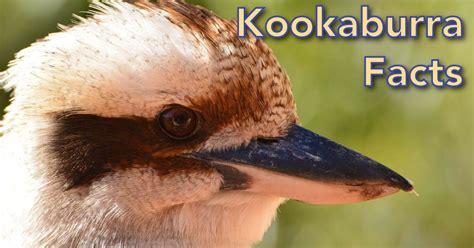 kookaburra facts  kids information pictures video