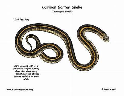 Snake Garter Clipart Common Drawing Diagram Snakes