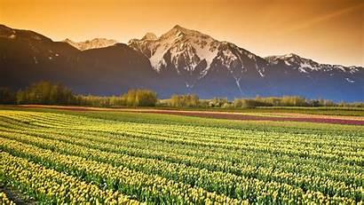 Field Tulip Fields Desktop Farm Columbia Canada