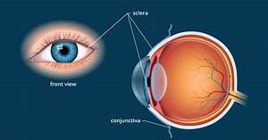 Diagram Of The Outer Eye