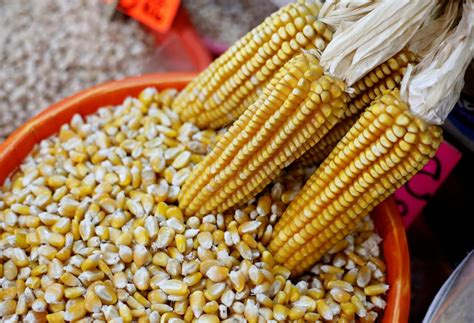 A-maize-ing genetic sleuthing rewrites history of corn ...