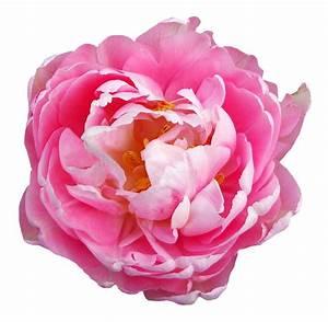 Rose Flower Pink Transparent PNG Image - PngPix