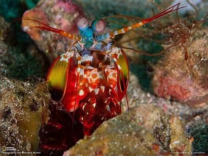 Shrimp Wallpapers Mantis