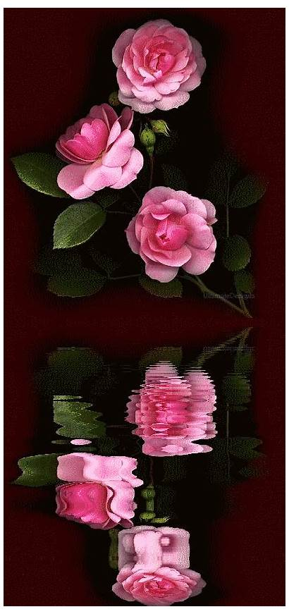 Reflections Roses