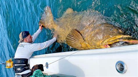 grouper goliath lb massive