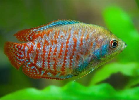 freshwater fish   perfect    gallon tank