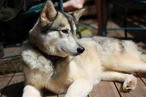 Timber wolf / Husky mix -- Pets in photography-on-the.net ...