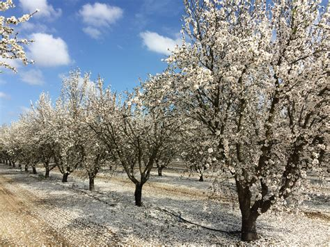 trees in bloom 2016 almond bloom considerations the almond doctor
