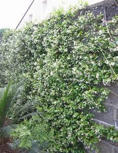 Plantes à Feuillage Persistant : floraison abondante et tr s odorante feuillage persistant ~ Premium-room.com Idées de Décoration