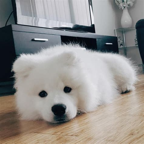 Pin By Nicole On Samoyed Puppies Cute Animals Dogs